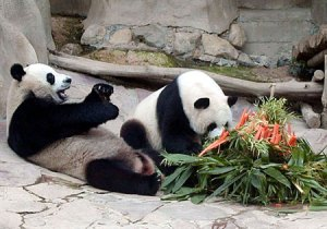 Pandas at the Chiang Mai Zoo in northern Thailand.