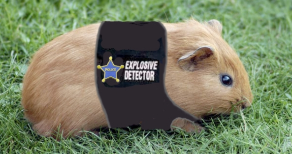 Police guinea pig? Not exactly yet, but who knows.  You could be the trainer of the first Guinea Pig tobacco and gunpowder detector.