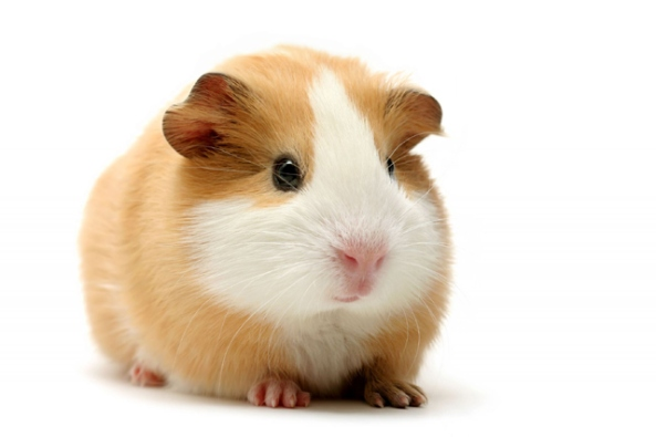 Guinea Pig, Cavia porcellus, also called Cavies.