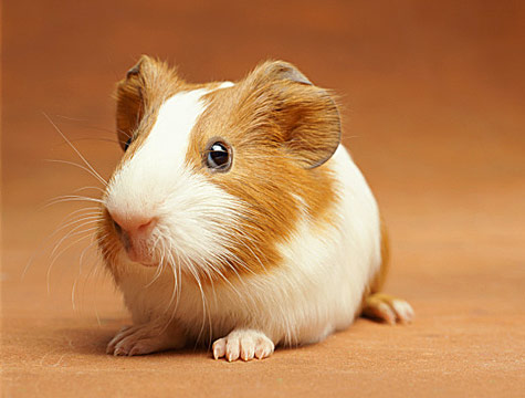 Guinea Pig: vocalization is their primary means of communication.