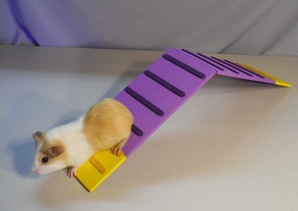 Guinea Pig using the A-frame.